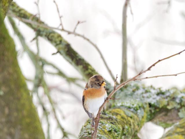 Bergfink im Schnee