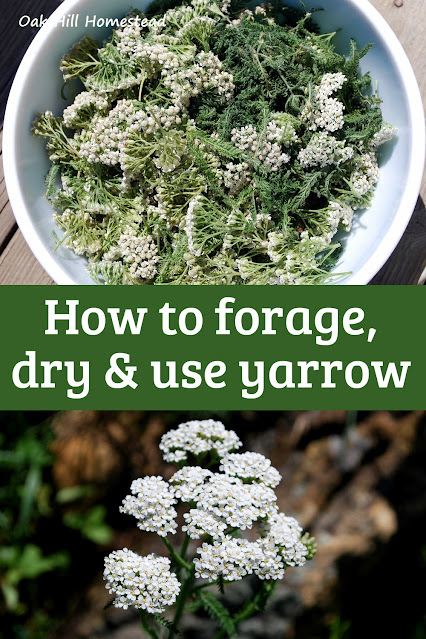 How to forage, dry and use yarrow.