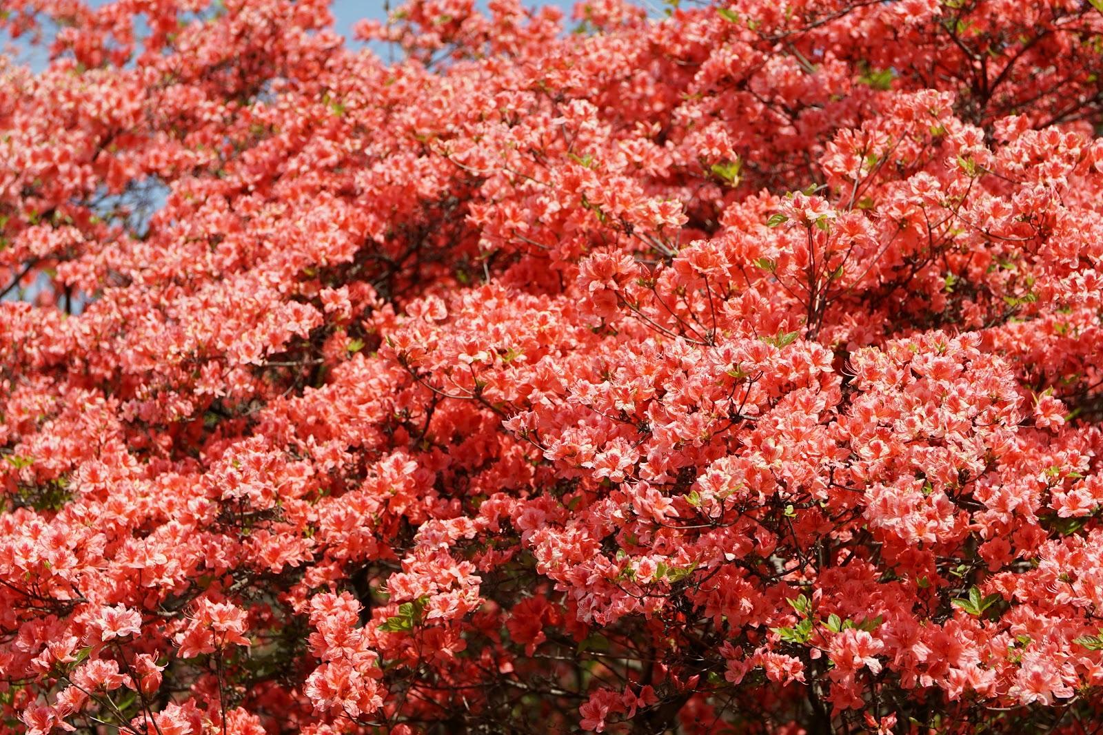 花真っ盛りの朱色の山躑躅