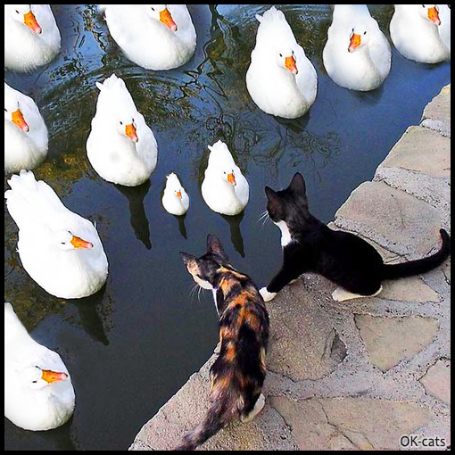 Photoshopped cat pic • 2 kittens vs. 10 swans. That awkward moment when you realize you're not stronger enough!