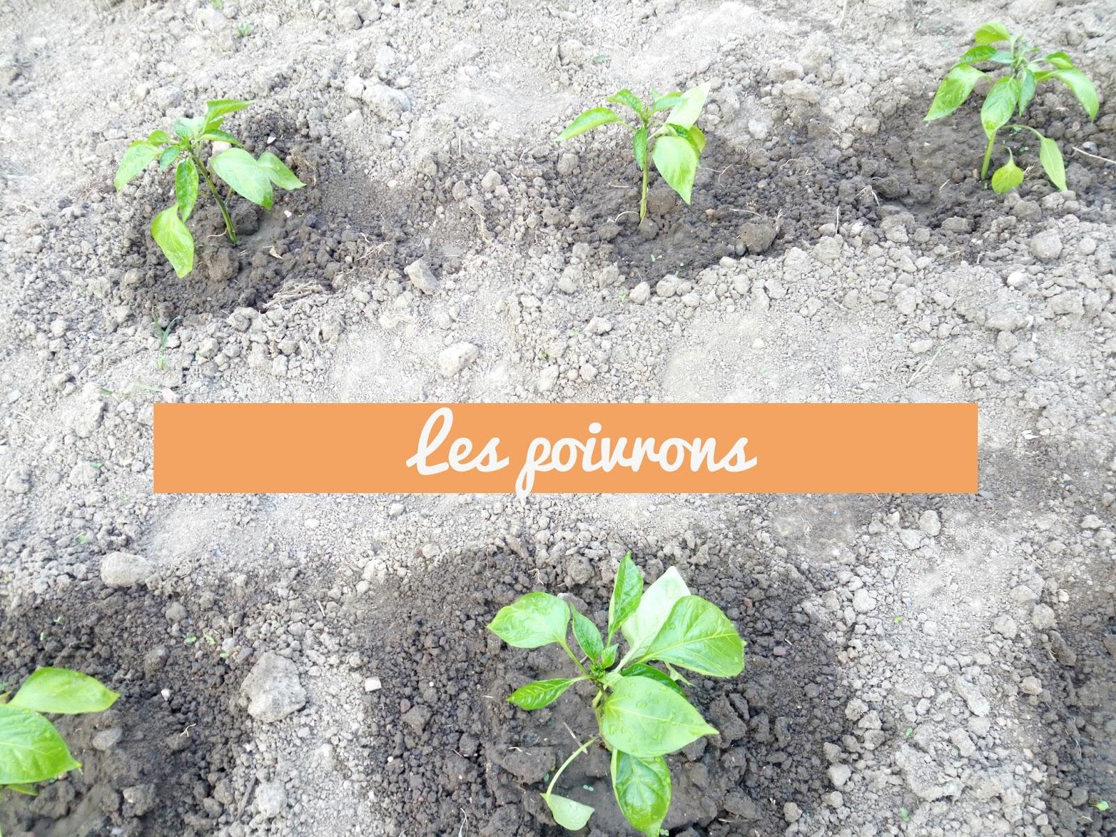 Katy 39 s eats recettes faciles simples et cr atives - Quand planter les poivrons ...