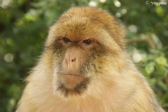 Uno dei macachi che abitano la Foret des Singes di Rocamadour