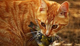 «Πόλεμο» στις γάτες κήρυξαν οι Αυστραλοί: Θέλουν να σκοτώσουν δύο εκατομμύρια μέχρι το 2020!