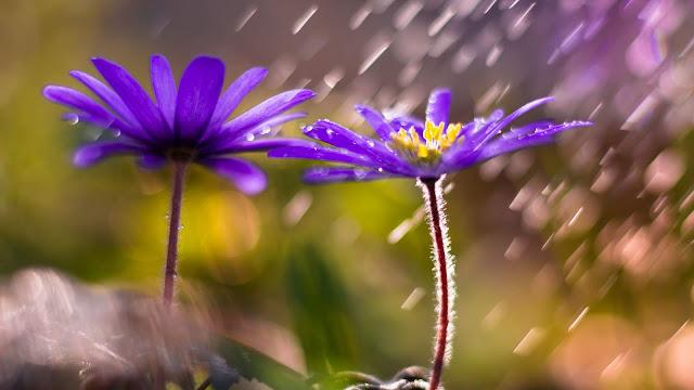 Papel de Parede Flores Violeta na Chuva