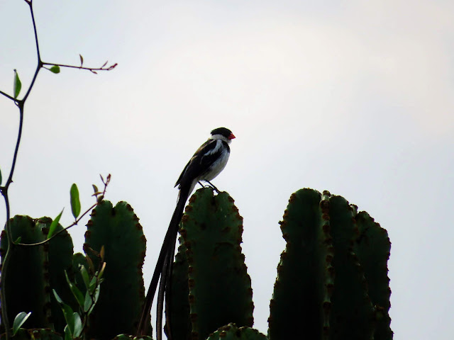Pin-tailed Whydah in Uganda