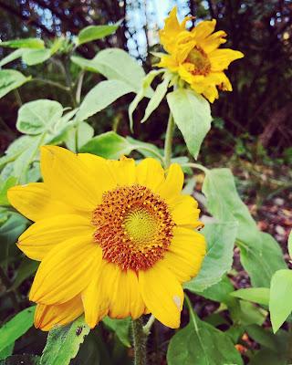 Kaksi hyvin keltaista auringonkukkaa kukkii