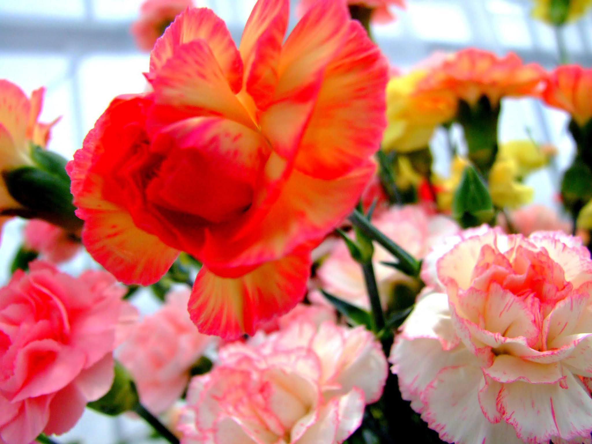 真っ赤なカーネーションと、それを彩るように周りを囲む白とピンクのカーネーションです。母の日の素材などにいかがでしょうか。