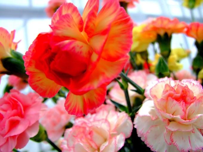 073 #綺麗 #花 #カーネーション #白 #ピンク #赤