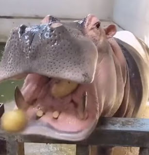 No, hippo want no potatos