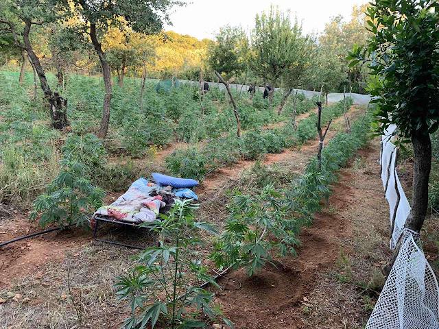 Σύλληψη καλλιεργητών μεγάλης φυτείας κάνναβης με ανταλλαγή πυρών στον Ταΰγετο