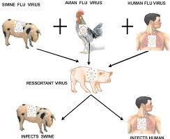 H1N1 Virus(Swine flu)