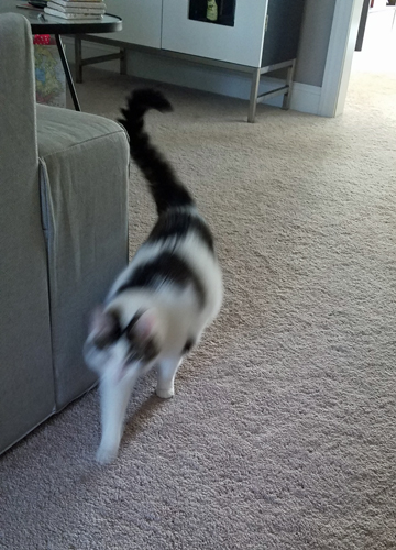 image of Olivia the White Farm Cat strolling around the living room, a blur of motion