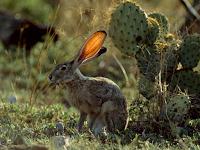 Mengapa terwelu (Jackrabbit) memiliki telinga yang tipis dan lebar?
