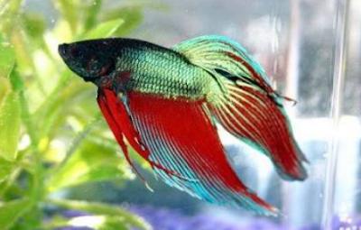 Ikan cupang aduan dan hias