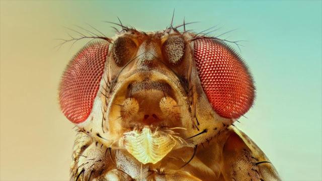 Conozca mosca de 6000 años que nos dio quesos y yogures modernos
