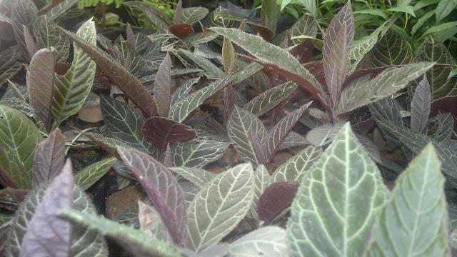 Cây Khôi tía - Ardisia sylvestris - Nguyên liệu làm thuốc Chữa Đau Dạ Dày