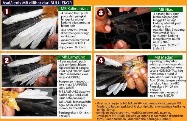 Harga Burung Murai Batu Ekor Hitam Hutan Terbaru Order WA 0858-5314-7511 Harga Burung Murai Batu Ekor Hitam Terbaru