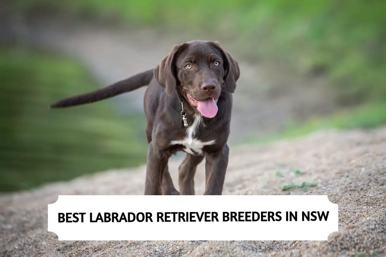 Best Labrador Retriever Breeders