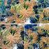 পোরশায় মুকুলে মুকুলে ছেয়ে  গেছে আমবাগান-দেশবাংলা খবর২৪