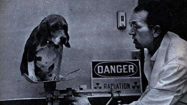 Beagle Dogs - Radioactive - Plutonium Dioxide - 02