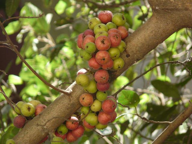 The supremacy of the 'Audumbara' Tree (Attimara)