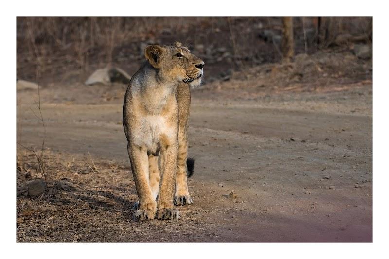 Queen of Gir -Asiatic lioness