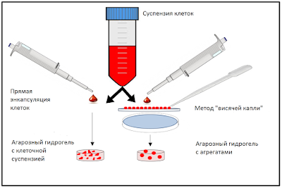 Методика получения агрегатов мезенхимальных стволовых клеток