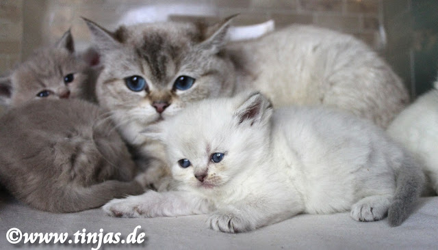 Britisch Kurzhaar Katzenbabys 2