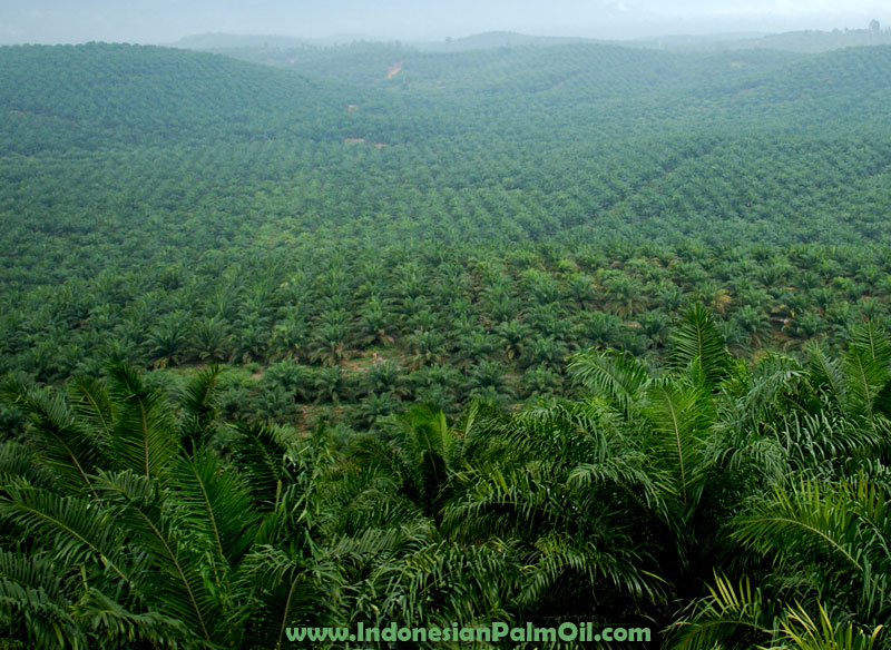 company's oil palm estate area