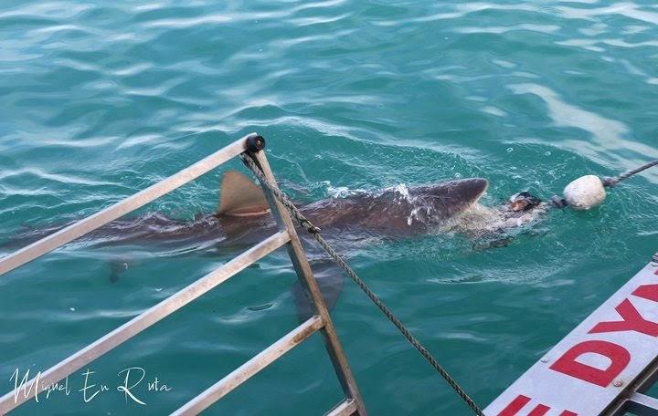 Tiburón-cobrizo-ataca-cebo