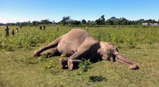 pergnent-elephant-died