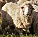Domba Merino jenis domba penghasil woll dan jenis pedaging