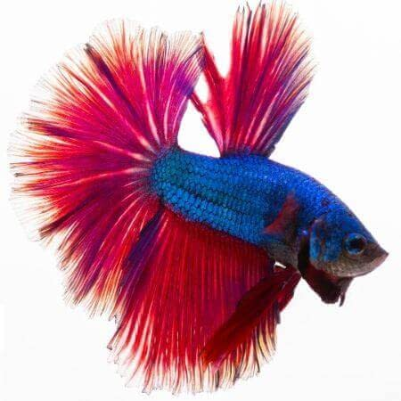 Ikan Cupang Pola Bi Color - Bicolor Pattern Betta - Ikanhiasku.net