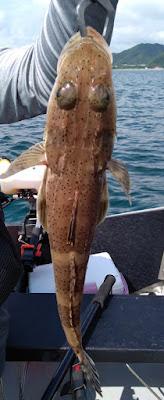 ポータボートでの釣果 マゴチ