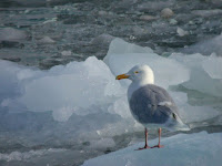 Glaucous gull breeding adult, Spitzbergen,  Norway - July 19, 2004, photo by Alastair Rae