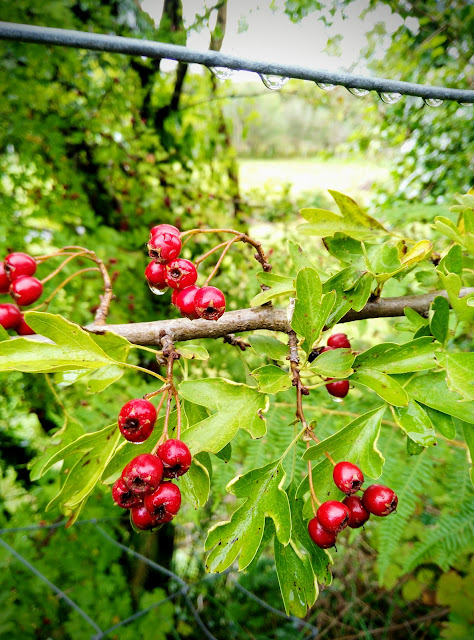 hawthorn berries, red, green leaves