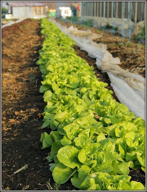 plantation sur butte permanente les salades sous tomates. Black Bedroom Furniture Sets. Home Design Ideas