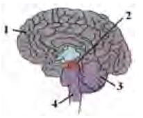 gambar sistem saraf no 22