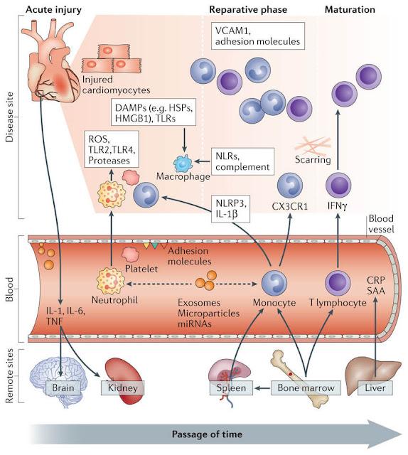 kemotaktik maddeler inflamasyon adımları inflamasyon nasıl gerçekleşir sırası nedir