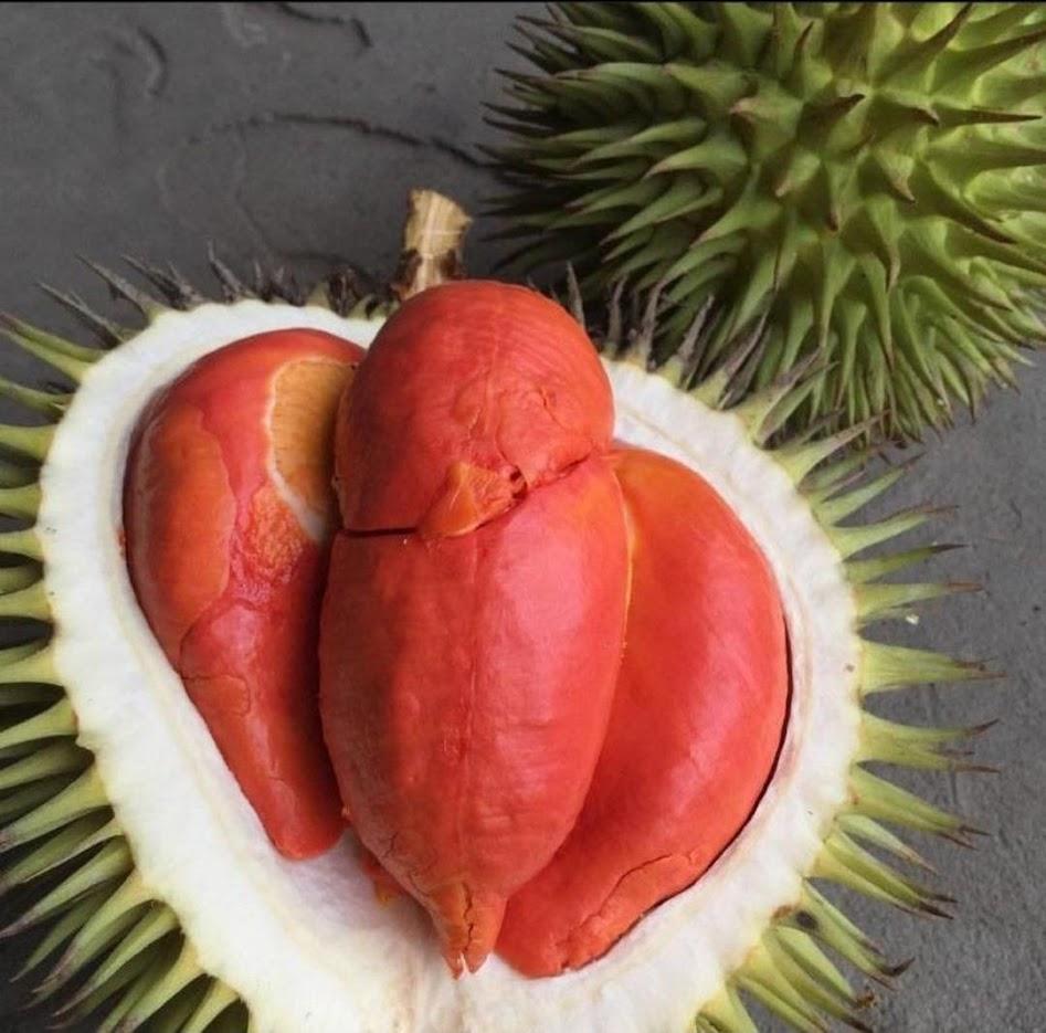 bibit durian merah Sulawesi Selatan