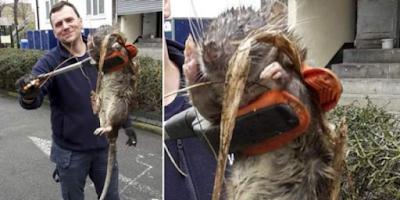 Tikus Raksasa