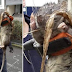 Wow Tukang Gas Ini Temukan Tikus Sebesar Anjing