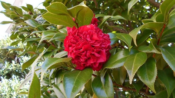 コケティッシュな深紅の椿