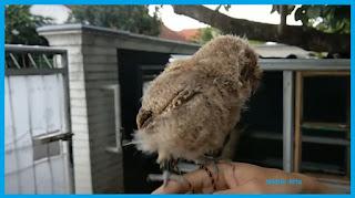 Cara Merawat Burung Hantu Scoop owl / jenis celepuk