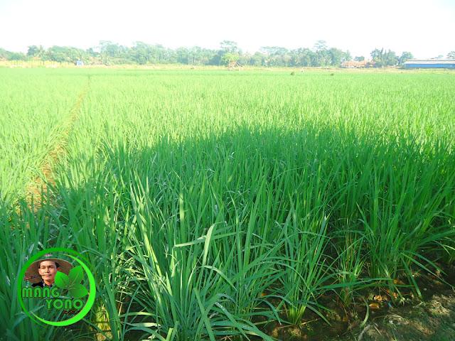 Banyak petani enggan menanam padi ketan... Mengapa?.
