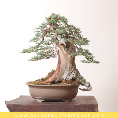 Bonsai Juniperus Occidentalis (Sierra) 2