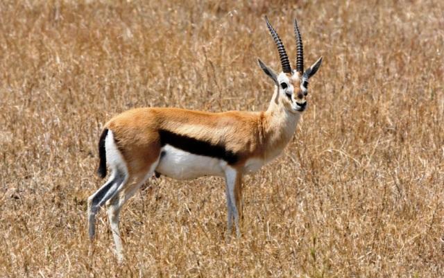 Rusa afrika 5 binatang darat tercepat di dunia
