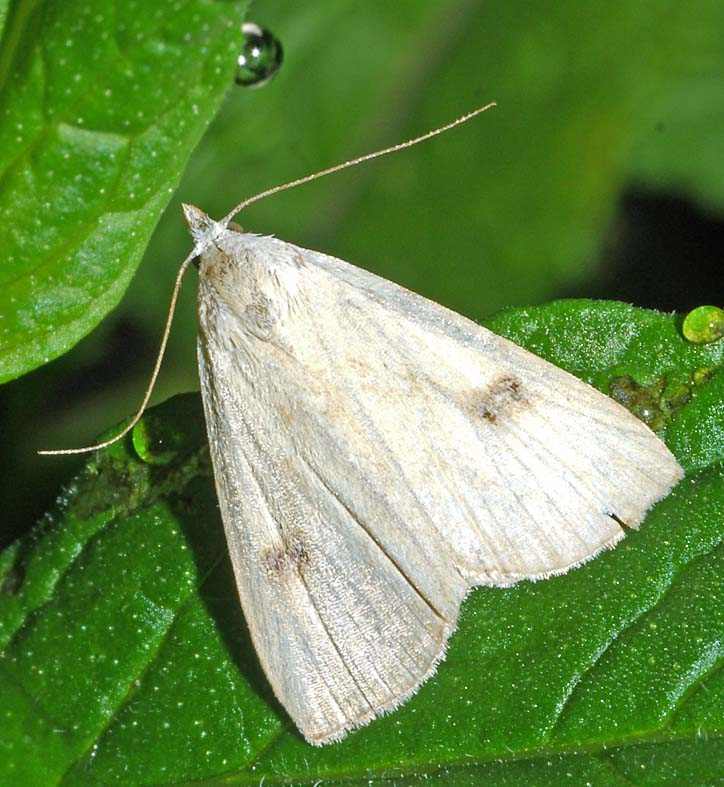 Moths In Kitchen Cabinets: CABINET OF CURIOSITIES: Straw Dot Moth