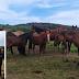 Polícia Civil apreende mais de 70 cavalos em Bagé