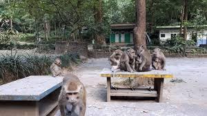 Monyet dari Gunung Merapi Mulai Turun, Benarkah Ini Pertanda Gunung Merapi Akan Meletus?